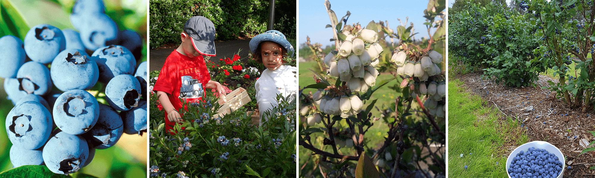 Halskenbjerg er Danmarks største blåbær plantage