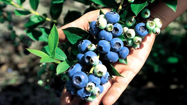 Salg af blåbær engros