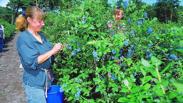 Sommer hos Halskenbjerg blåbær