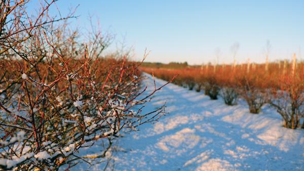 Vinter hos Halskenbjerg blåbær